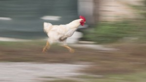 Create meme: chicken out, chicken running from the farmer, chicken run