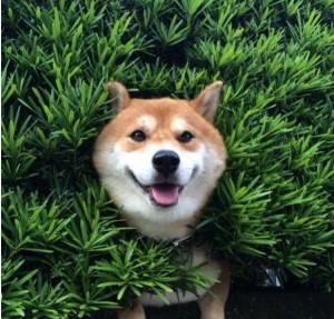 Создать мем: порода сиба, шиба ину, собака породы сиба
