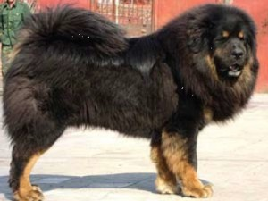 Create meme: The Tibetan Mastiff by the name of Buffalo