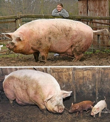 """Create Meme """"10000 BC (10000 BC, The Biggest Pig In The"""