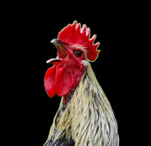 Create meme: roosters , red grey cock, rooster in profile