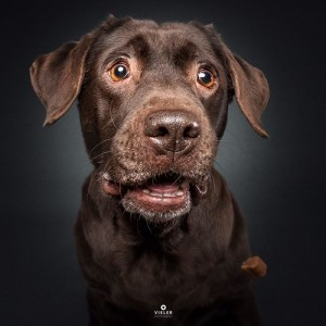 Create meme: funny muzzle of the dog in the picture, Labrador brown, Retriever chocolate