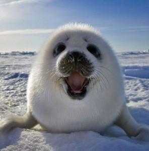 Создать мем: Тюлень