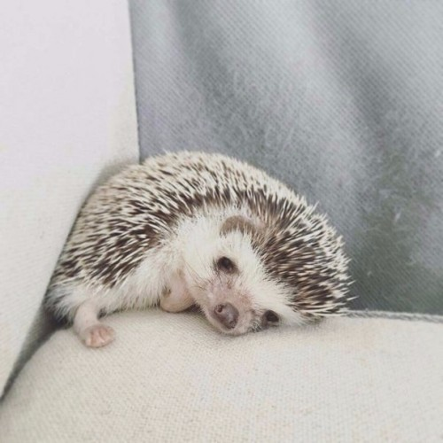 Image result for hedgehog meme