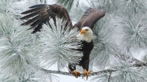 Create meme: Eagle and spruce
