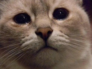 Create meme: sad cat meme, does this mean the cat , cat with tears
