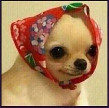 Создать мем: той тебе, Чихуахуа, собака в платке