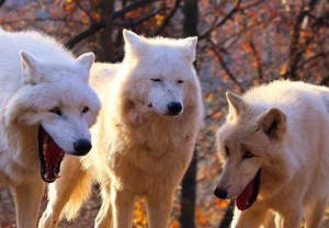 Create meme: wolf , Dog, three wolves