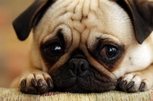Create meme: Sad pug