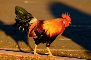 Create meme: fiery cock , roosters , colored cocks photos
