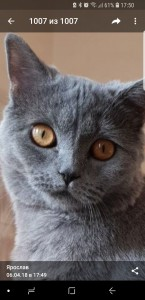 Создать мем: british shorthair cat, chartreux