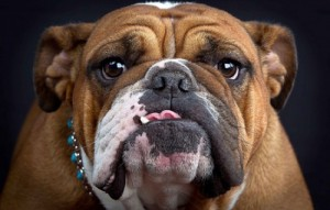 Create meme: English bulldog , english bulldog , French bulldog