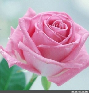 Create meme: pink rose , roses , flowers