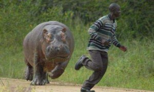 Create meme: attack of the Hippo, africa funny pictures, Hippo runs