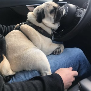 Create meme: pug , cuddle , pug