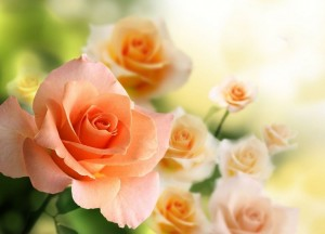 Create meme: pink roses , roses , rose flower