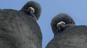 Create meme: pigeon meat, pigeons funny pictures, birds