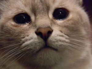 Create meme: sad cat, sad cats pictures with tears, does this mean the cat