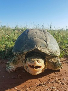 Создать мем: snapping turtle, tortoise, черепаха