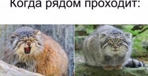 Создать мем: манул презентация, кот манул загрыз, манул животное