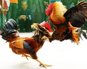 Create meme: ayam, cock fighting pictures, cock fighting photo