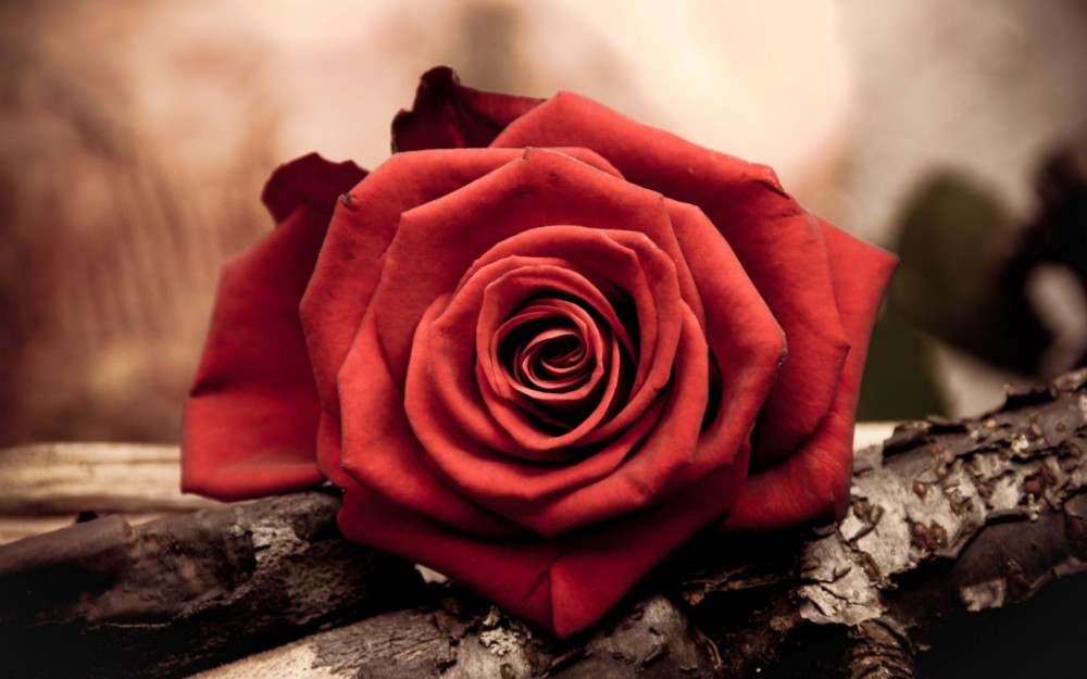 Create Meme Roses On A Brown Background Wallpaper Desktop