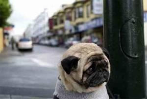 Создать мем: собака мопс, pug memes, грустная собака
